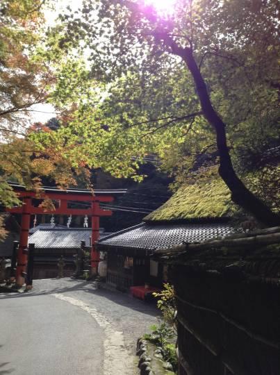 11月1日より大覚寺にて嵯峨菊展が始まります。
