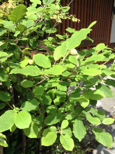 オオヤマレンゲ、今年は早くに花咲きそうです。
